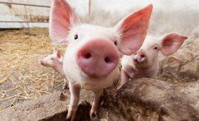 Новый способ лечения переломов испытали на свиньях
