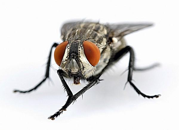 Вывод учёных о мухах: для чего мухи постоянно перебирают своими лапками