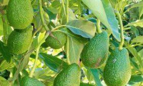 Названо неожиданное полезное свойство авокадо
